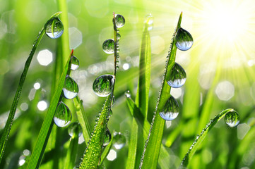 Fototapeta Popularne Fresh grass with dew drops close up