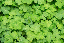Hree Shamrock Leaves In A Clover Patch