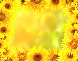 FototapetaFrame with bright yellow sunflowers