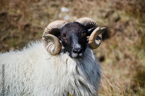 Fotografija  Connemara Blackface Sheep