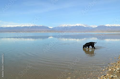 Fotografie, Tablou  Dog enters the lake