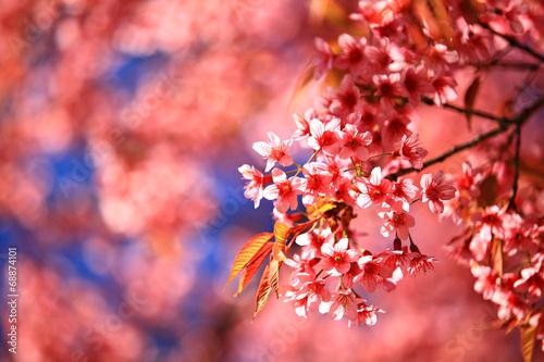 wisniowe-kwiaty-kwitna-w-tajlandii-w-parku-narodowym-doi-inthanon