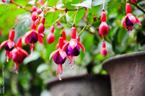 Fuchsia Fototapet