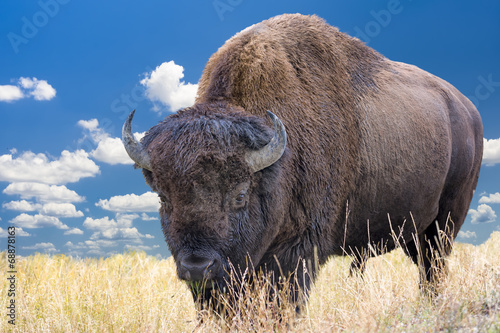 Poster Bison Wyoming Bison