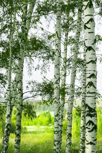 brzoza-lesna-w-tle-zielona-polana