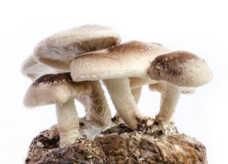 shiitake mushroom.