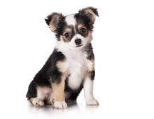 Chihuahua Puppy Sitting, Looki...