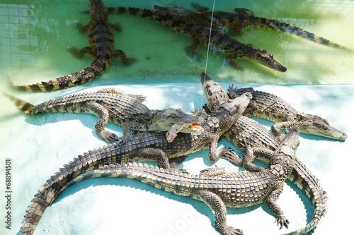 Poster Crocodile feeding crocodile on Crocodile Farm
