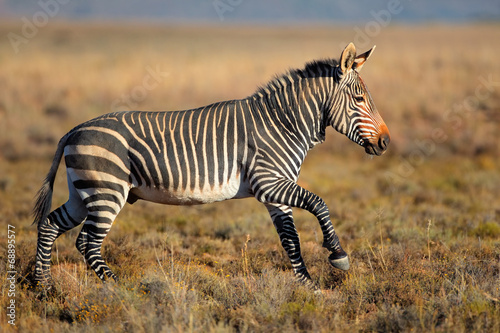 Poster Zebra Running Cape Mountain Zebra