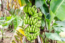 Bunch Of Ripening Bananas On T...