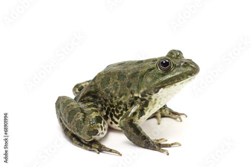 Foto op Plexiglas Kikker dark green spotted frog on white background