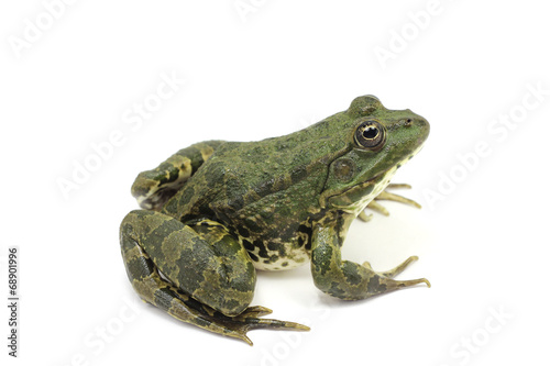 Foto op Plexiglas Kikker dark green green frog on a white background