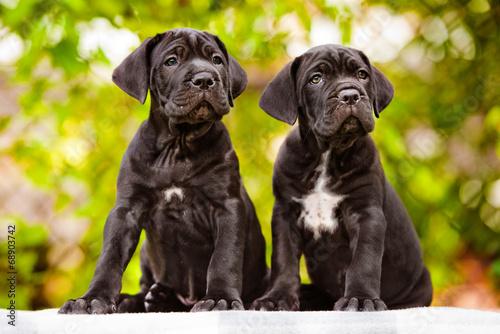 Fotografie, Obraz  two black cane corso puppies