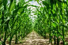 High Corn Crops On A Row