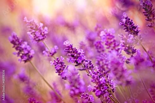 Fototapety, obrazy: Beautiful lavender
