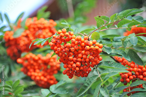Fotografie, Obraz  Rowan berries, Mountain ash (Sorbus) tree with ripe berry