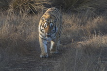 Bengal Tiger On Patrol In Its Territory