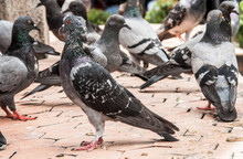 Close Up Rock Pigeon On Dirty ...