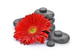 Fototapeta Kamienie - Gerbera z kamieniami bazaltowymi na białym tle