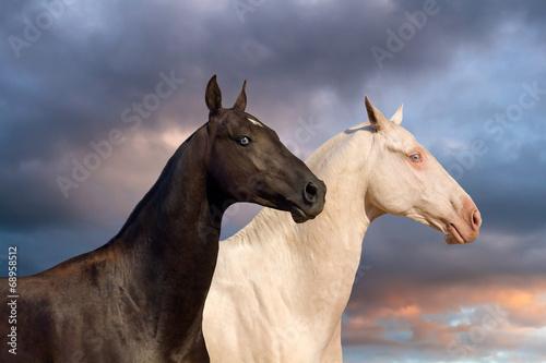 two-akhal-teke-horse-portrait