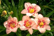 Blooming Daylilies - Hemerocallis - In Summersun In The Garden