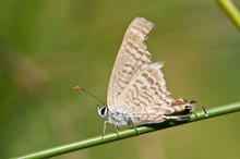 Peablue Butterflies Injury On Green Grass