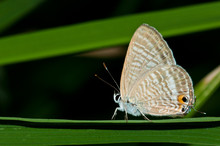 Peablue Butterfly On Green Grass