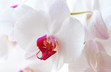 White Orchid`s Flowers