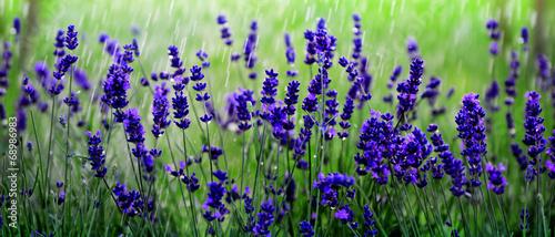 Lavendelfeld - 68986983