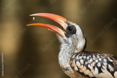 Fotografering  A Western Red-Billed Hornbill (Tockus erythrorhynchus) tossing u