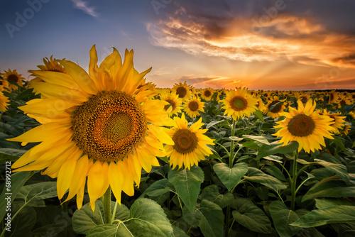 Obraz Piękny zachód słońca nad polem słoneczników - fototapety do salonu