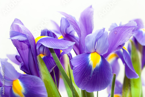 Photo Stands Iris violet yellow iris blueflag flower on white backgroung
