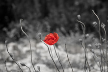 Red Poppy On Black And White B...