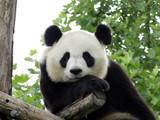Fototapeta Animals - Panda Géant 3