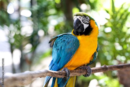 Naklejki papugi  niebieski-i-zolty-portret-ary