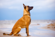 Belgian Shepherd Dog Sitting O...