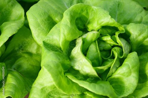 Photo Butterhead lettuce