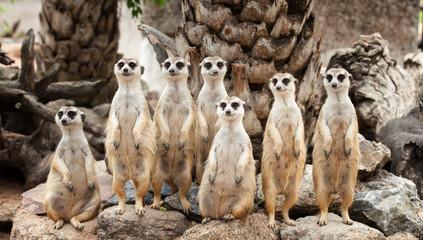 Portrait of meerkat family