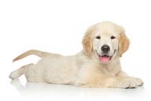 Golden Retriever Puppy On Whit...