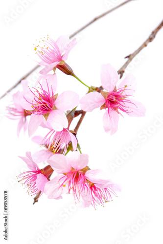 Poster Fleuriste Wild Himalayan Cherry, Thailand Sakura pink flower