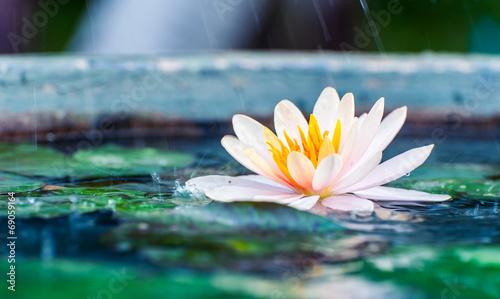 Deurstickers Waterlelies beautiful pink waterlily or lotus flower in a pond with rain dro