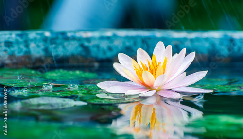 Garden Poster Lotus flower beautiful pink waterlily or lotus flower in a pond with rain dro