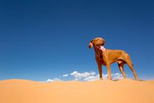 Dog Standing In Desert