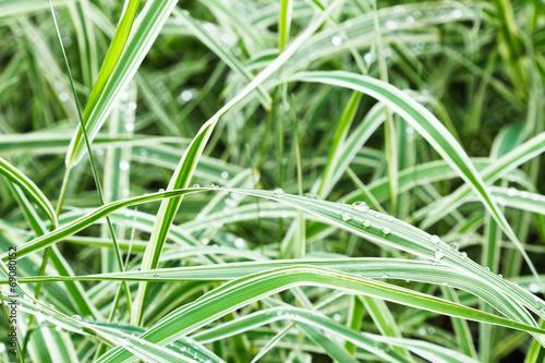 Fotografie, Obraz  wet green blades of carex morrowii japonica