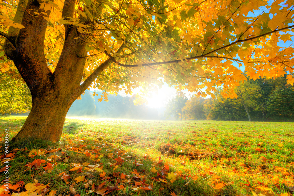 Fototapeta Beautiful autumn tree with fallen dry leaves