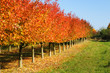 canvas print picture Cherry-trees in autumn colors