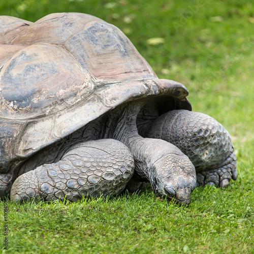 Fotografie, Obraz  A giant Galapagos turtle, Galapagos islands, Ecuador