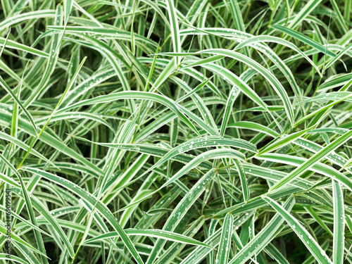 Fototapeta natural background from wet green leaves of Carex