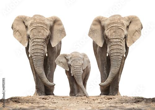 African elephant (Loxodonta africana) family on a white.