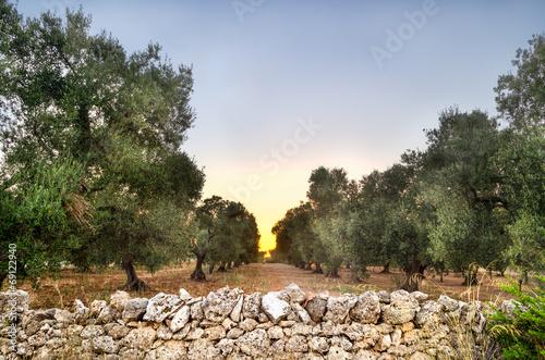 Spoed Foto op Canvas Olijfboom Puglia, Italy, Olive trees